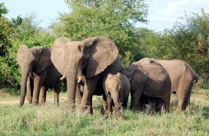 elephants-226780_640